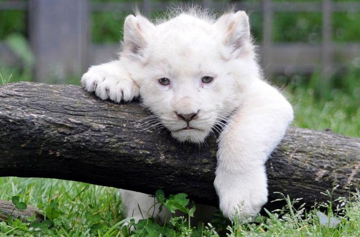 Debutto in pubblico per i cuccioli di leone bianco nati nello zoo di Pont-Scorff, in Bretagna. I piccoli, due maschi e una femmina nati il 23 febbraio scorso, hanno fatto la loro prima apparizione insieme alla mamma Sweleka