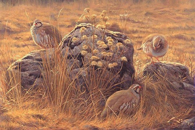 Perdiz roja (Alectoris rufa)