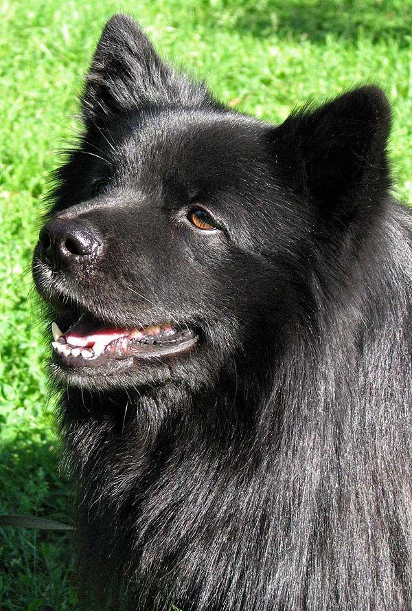 Swedish Lapphund / Svensk lapphund Puppy Dog | Swedish ...