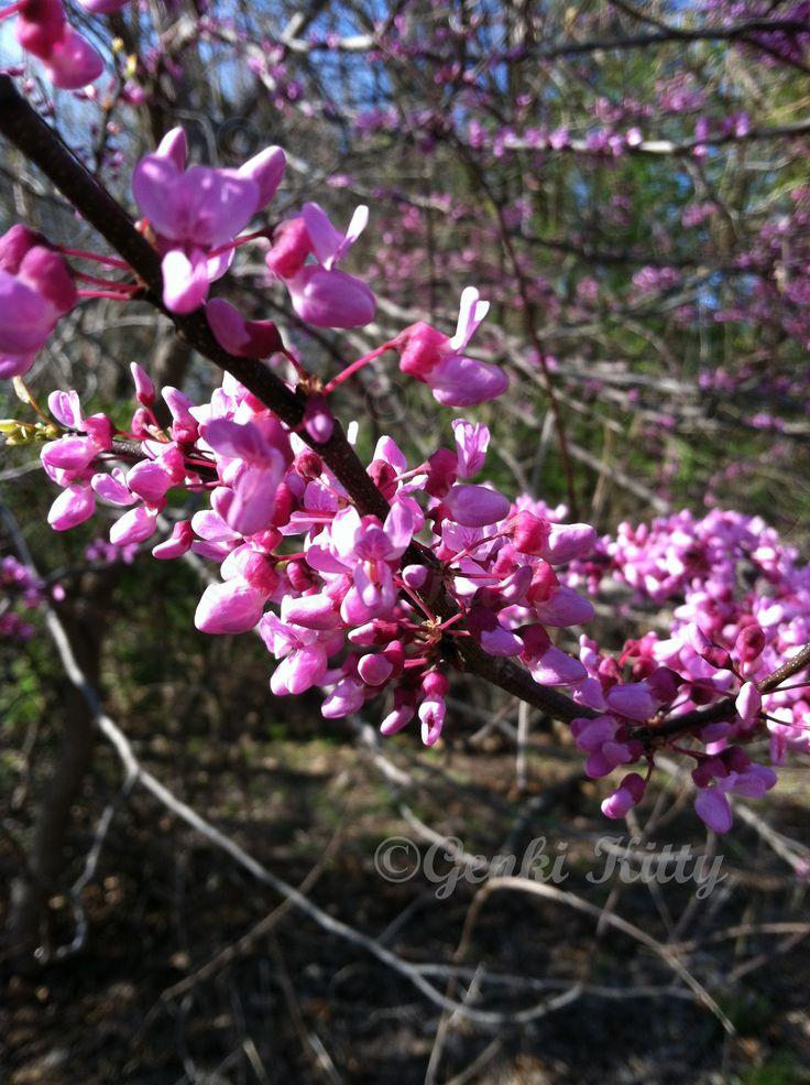 flowering trees in spring 2015 Indiana