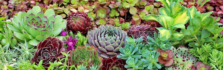 Image from http://cdn6.bigcommerce.com/s-oqm1pc/product_images/uploaded_images/hardy-succulents-1440x400.jpg?t=1407806299.