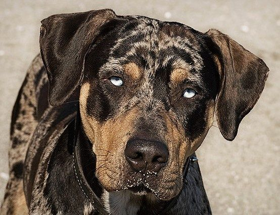 Louisiana Catahoula Leopard dog | Catahoula Catahoula