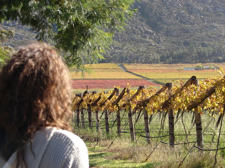 Autumn in the vineyards in the Hex River valley