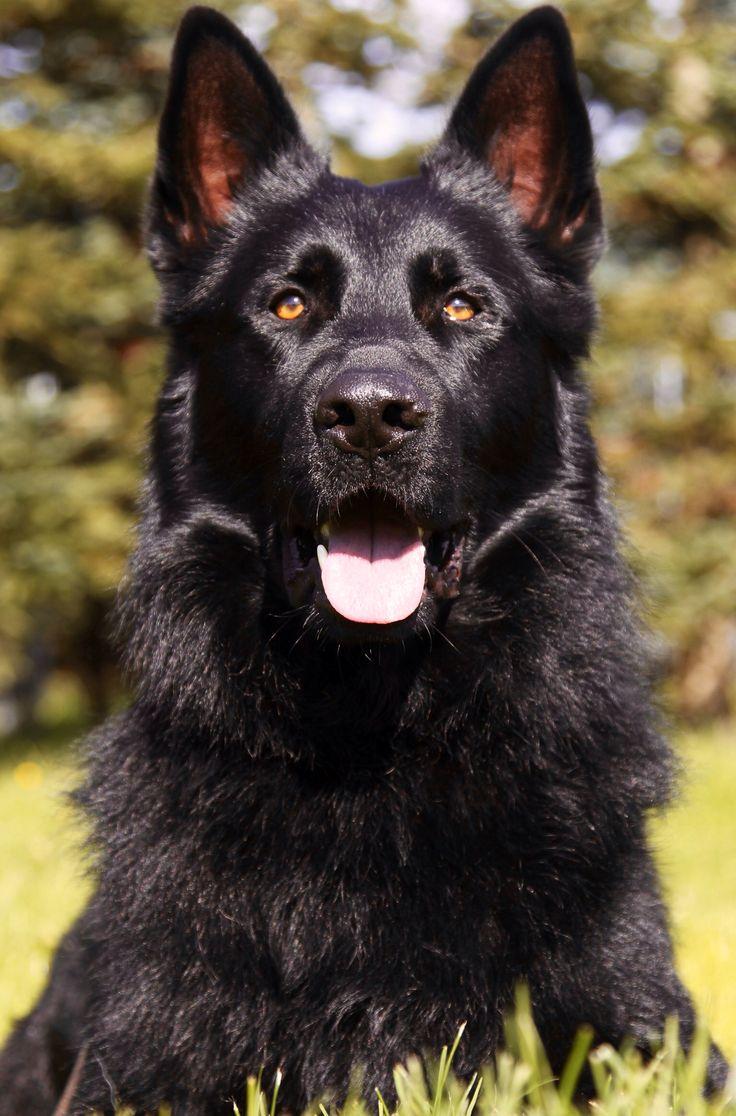 Irko Vom Walsagrund Ipo3 Kkl Our Newest Addition To Our German Shepherd Breeding Program Black German Shepherd Black German Shepherd Dog German Shepherd Dogs