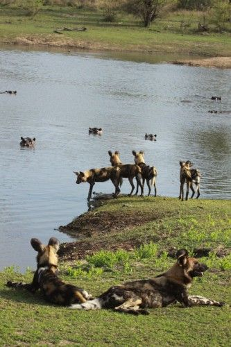Wild dogs disturb a hippo's afternoon nap – a photo story in Sabi Sands