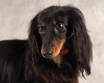 *AVAILABLE* – Meet Miss Sallie, a 6 years 3 months Dachshund, Miniature Long Haired available for adoption in COLORADO SPRINGS, CO (with her momma!!!)