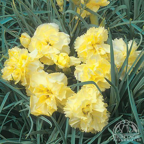Dianthus caryophyllus 'Grenadin Yellow'
