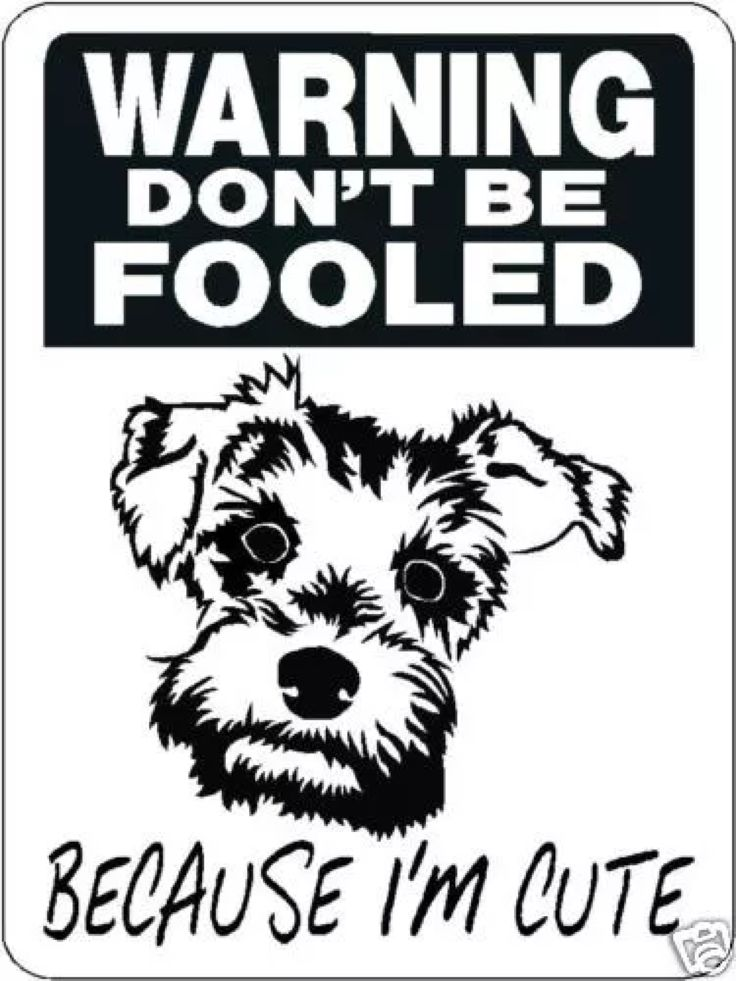 1000 Images About Gotta Love Schnauzers On Pinterest