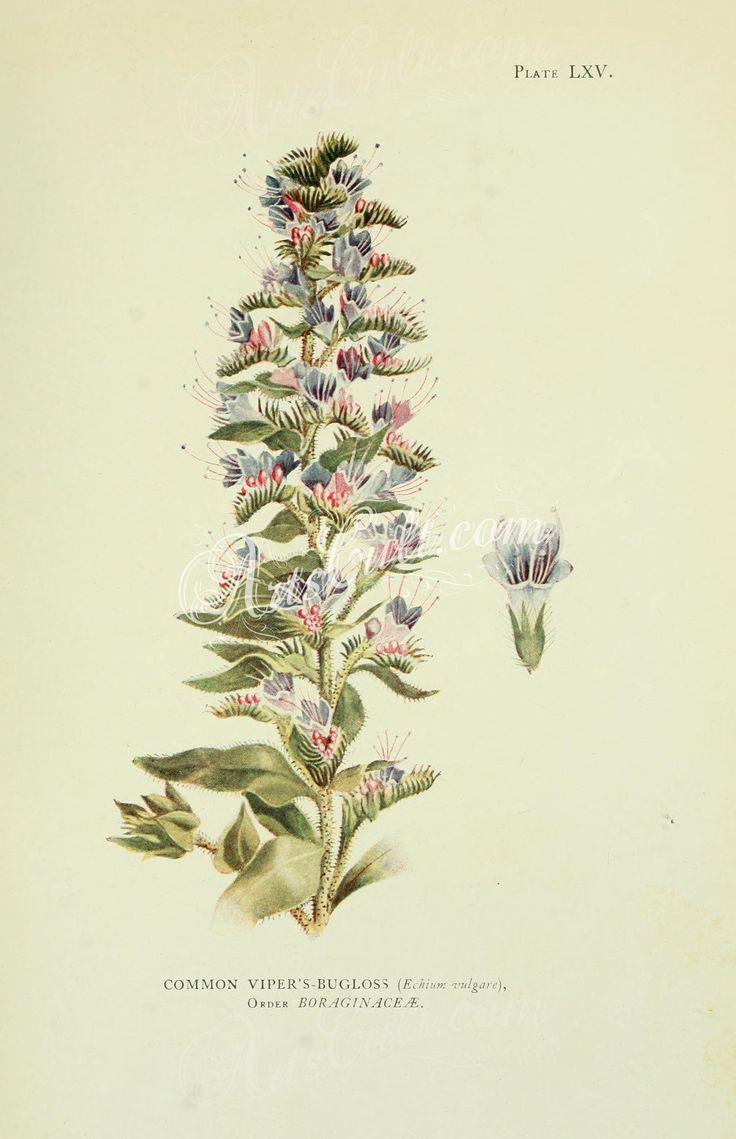 Common Viper's-Bugloss, echium vulgare      ...