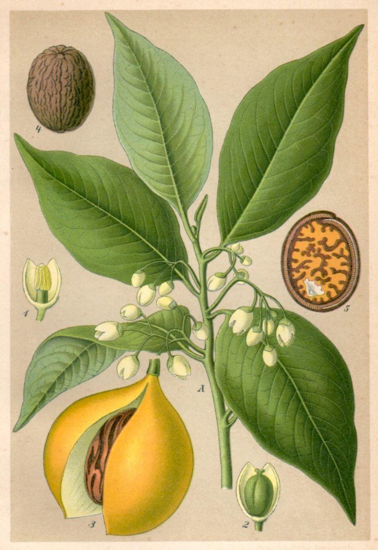 1901 Nutmeg Botanical Print, Myristica fragrans https://www.etsy.com/uk/listing/204951505/1901-nutmeg-botanical-print-myristica?ref=shop_home_active_11