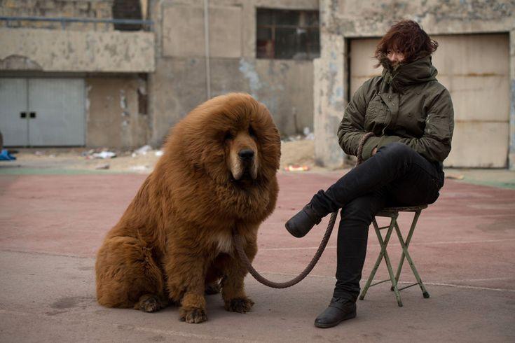 Tibetan Mastiff, looks like a bear