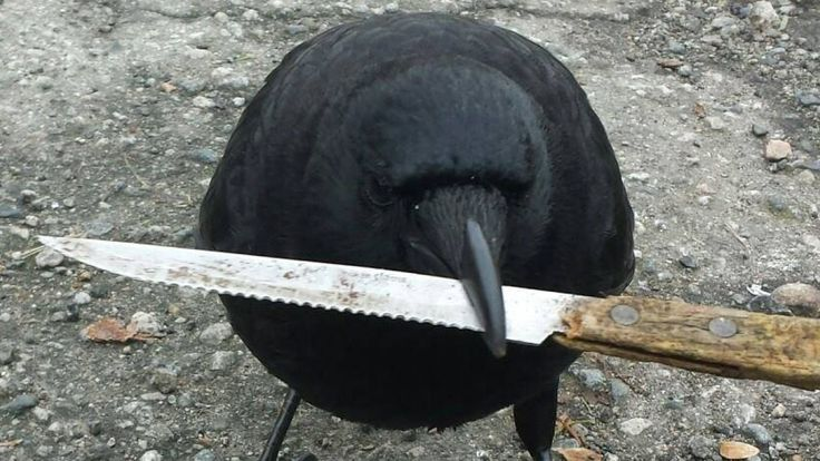 "BAD BIRD! In Vancouver, a crow grabbed a knife from a crime scene and only dropped it after a pursuit. Based on behavior and its red tag, the culprit is thought to be Canuck the crow, ""East Vancouver's most notorious bird."" (Police had photographed a previous encounter in which Canuck attempted to pry an F6 key off a patrol-car laptop.)"
