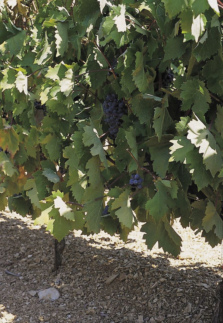 TRAVEL'IN GREECE I Skouras Estate, #Nemea, #Peloponnese, #Greece