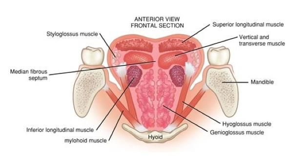 intrinsic tongue muscles | Bones Of The Skull, Muscles Of Tongue and Physiology