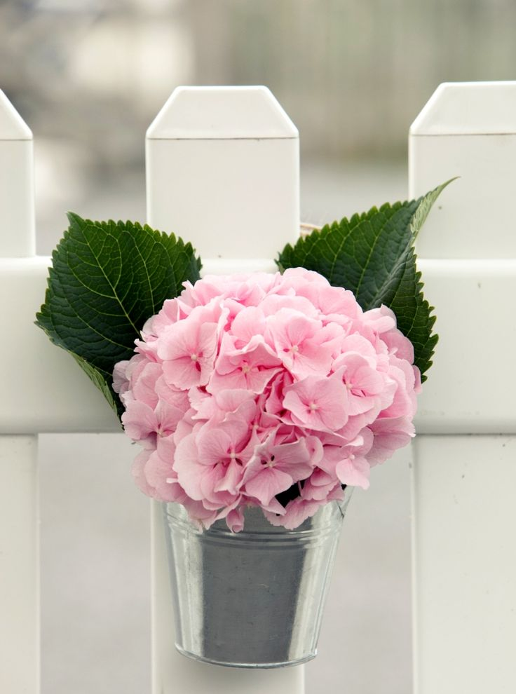 A Zinc bucket with pink hydrangea along a picket fence leading to the reception area of the wedding.