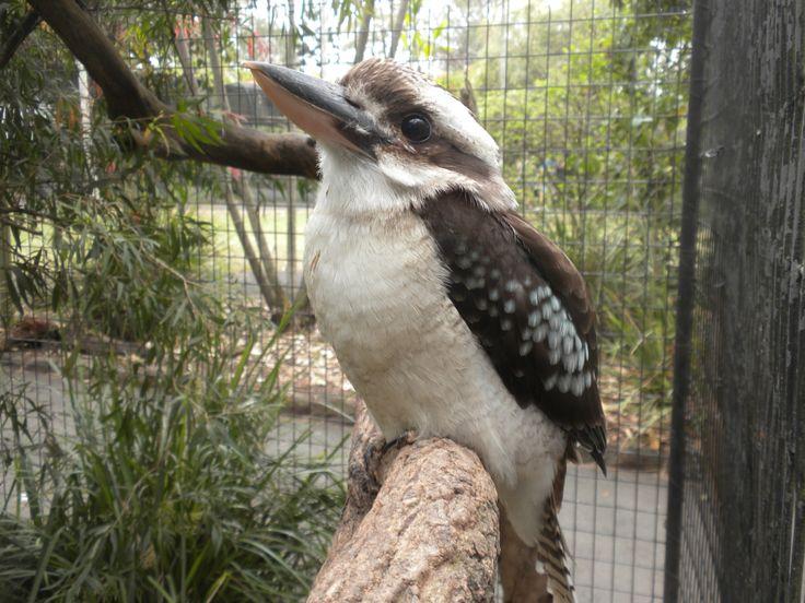 #Kookaburra #Australia #Bird