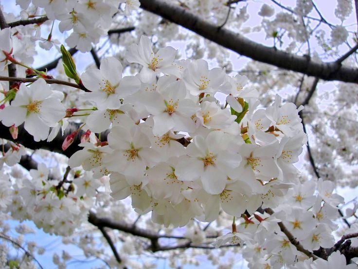 Prunus-yedoensis-22