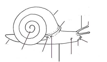snails on pinterest : snail diagram - findchart.co