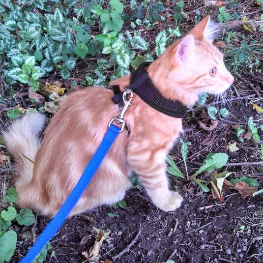 Leash training begins in preparation for the trip to California