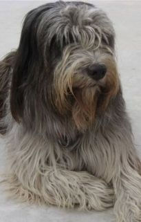 The Schapendoes is the shaggy sheep dog of Holland. Looks my cute puppy!