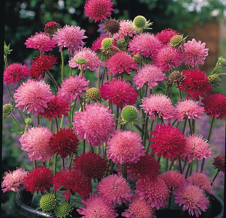 Knautia Seed   Kings Seeds