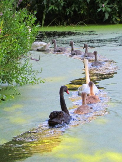 Swans in Colwick, Nottinghamshire, England by Bigbear10