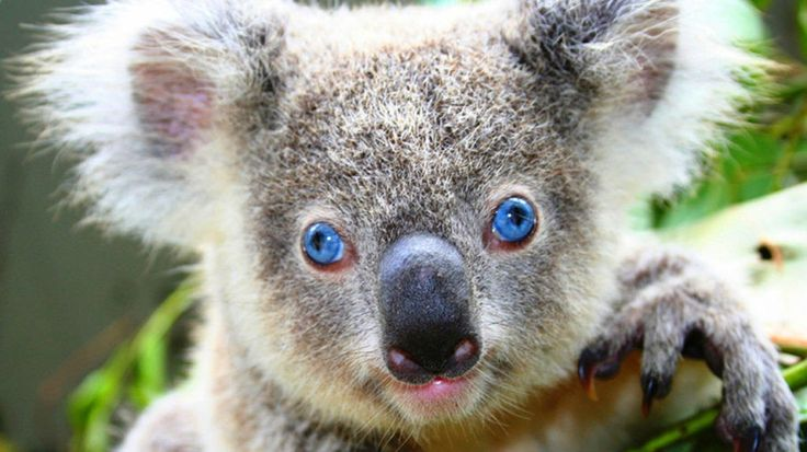 Koalas have a bifurcated penis Like most marsupials koalas' penis is separated into two columns so that the penis has two ends corresponding to the females' two vaginas. The penis is used only for inseminating females and is separate from the urinary tract #animals #images #nature #animals #columns #ends #females #koala #koalas #marsupials #penis #reproduction #sex #tract #vaginas