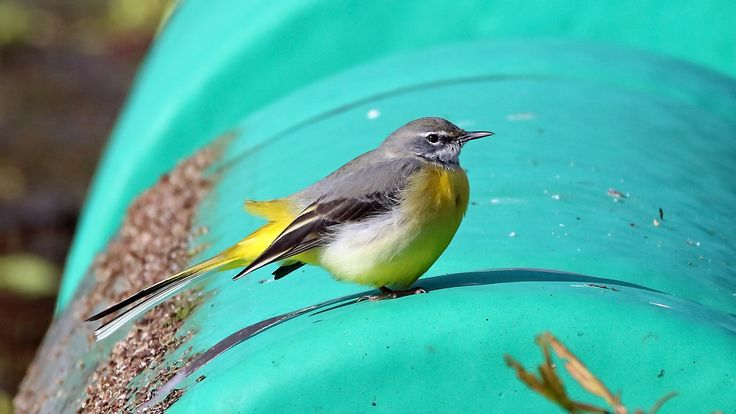 NickWakeling posted a photo:  Grey Wagtail at Horstead Mill, Norfolk.