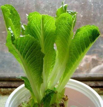 Replantar sobras de vegetales