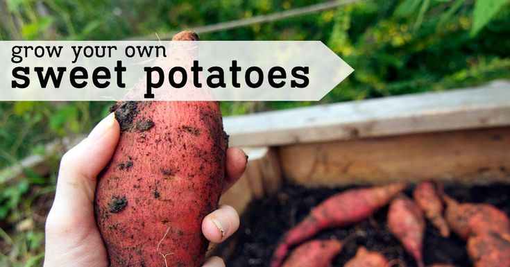 Welcome, sweet potatofans! This post takes you through all you need to know about starting your own sweet potato slips at home. For more about growing your own sweets through the entire summer, check out the Sweet Potato Grow Your Own Guide. * * * Have I told you yet …