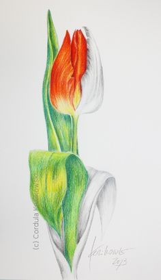 """""""Red Tulip"""", pencil and watercolor pencil drawing - a project to demonstrate the techniques, 15 x 25cm, (c) Cordula Kerlikowski"""