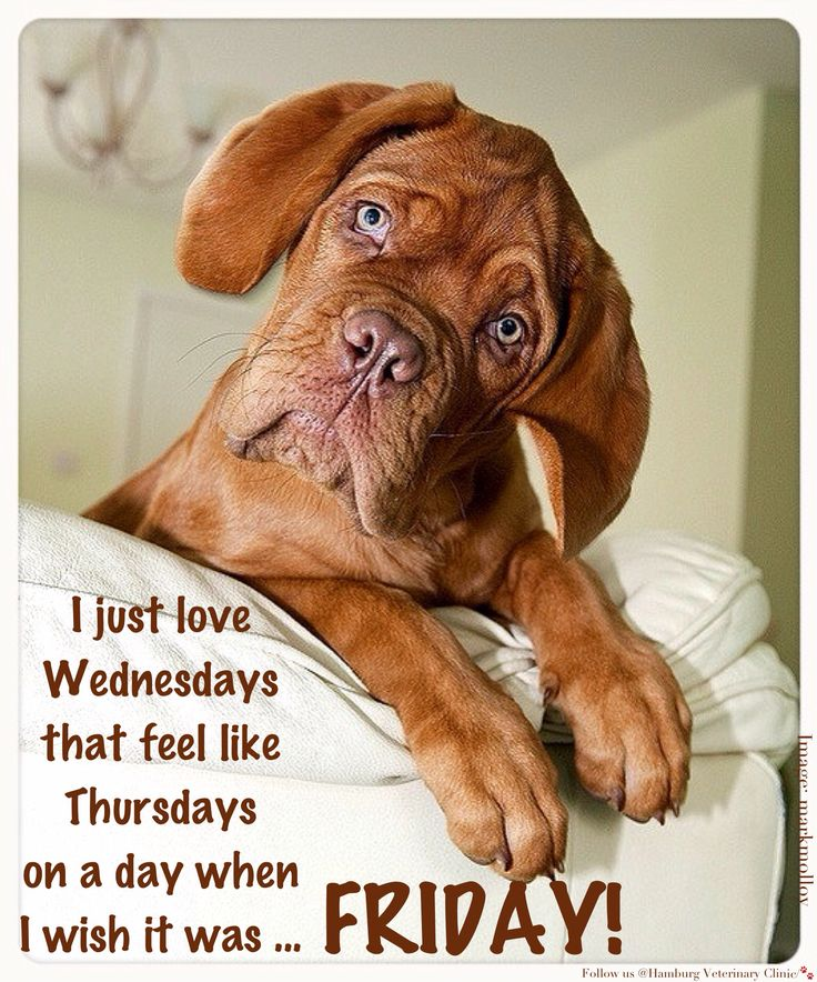 Wednesday humor | Halfway through the week | Happy Hump Day | Midway | Thursday funny | Happy Friday | Animal humor | Dog funny | Cute | Bummer | Dreaming of the weekend! I just love Wednesdays that feel like Thursdays on a day when I wish it was FRIDAY!