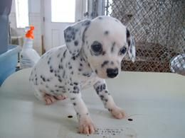 The Miniature Dalmatians...seriously cute. I will own one some day