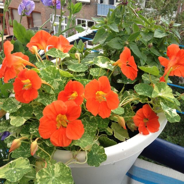 Mini edible flower garden on my balcony