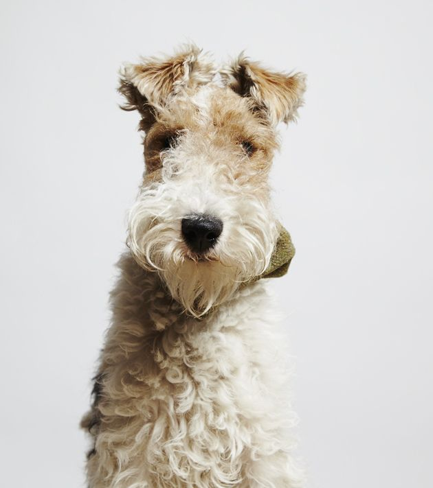 Wired-hair fox terrier. Just like my Grandma's dog Benji from my childhood!
