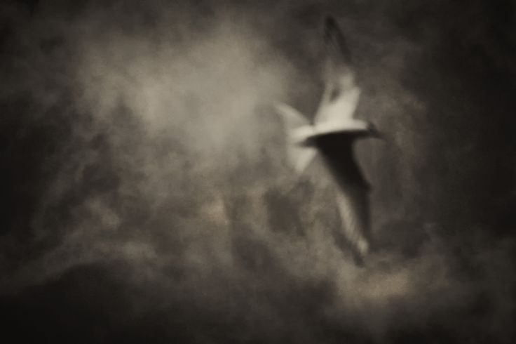 Ghostly Gannet in the Gloom
