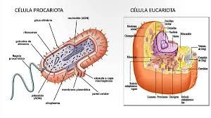 Un procariota o procarionte es un organismo unicelular sin núcleo definido, es decir, cuyo material genético se encuentra disperso en el citoplasma, reunido en una zona denominada nucleoide.1