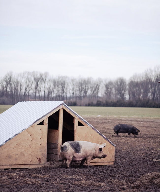 Portable Shelters Farm : Images about pig pens on pinterest guinea pigs