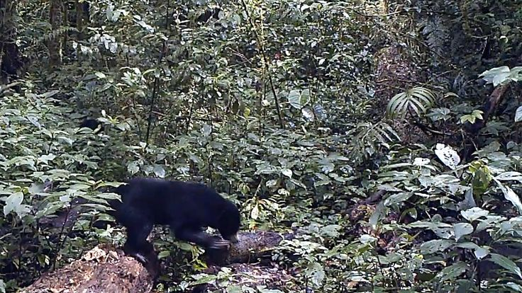 A peek into wild #MalayanSunBear life! Camera traps are amazing tools for conservation #FromTheField. Watch the clip: https://www.youtube.com/watch?v=Hlrm66L-qg8&list=PLxs1X56SvmClp1oCHTz5iP56b6FNyPHL4