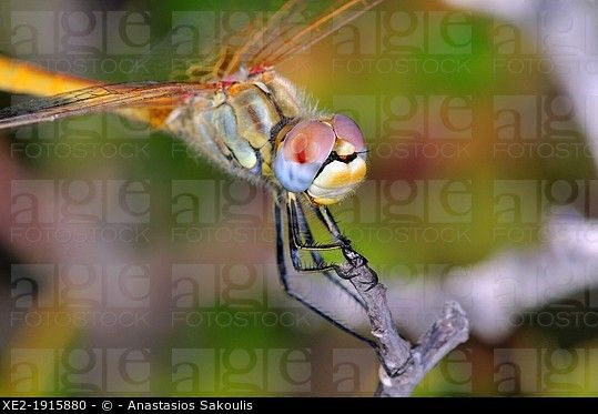 Red-veined Darter - Sympetrum fonscolombii, Crete