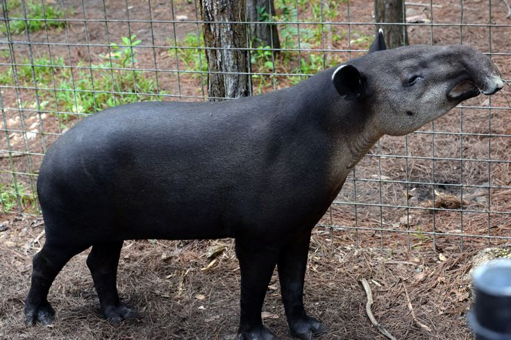 Meet the #tapir...the National animal of #Belize! | Want ...