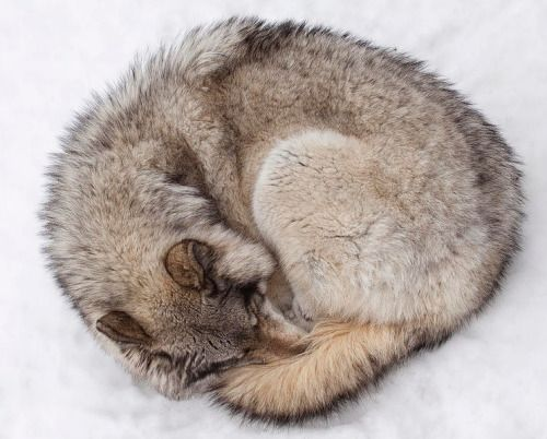 beautiful-wildlife:  Ball Of Wolf by Eunice Gibb