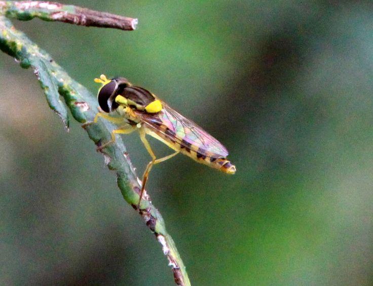 zweefvlieg grote langlijf (Sphaerophoria scripta) ♀