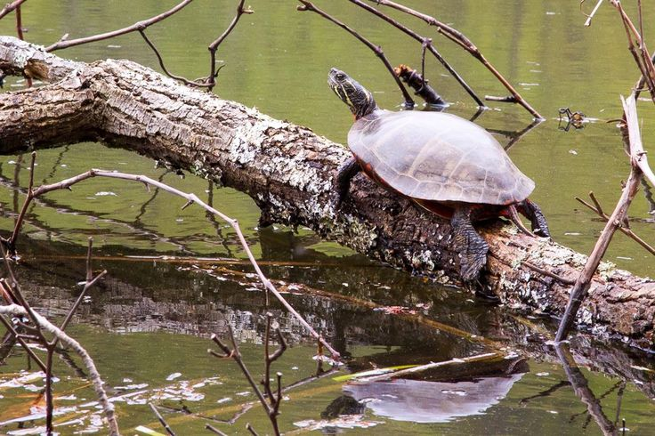 Photo of the Day... A painted turtle keeping a watchful eye out at # ...