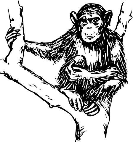 Šimpanz, Zvíře, Savec, Primát