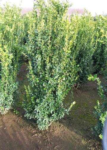 Boxwood Columnar | Plant List | Pinterest