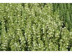 """Teucrium chamaedrys """" Alba """" - ožanka kalamandra bělokvětá forma Zahradnictví Krulichovi - zahradnictví, květinářství, trvalky, skalničky, bylinky a koření"""