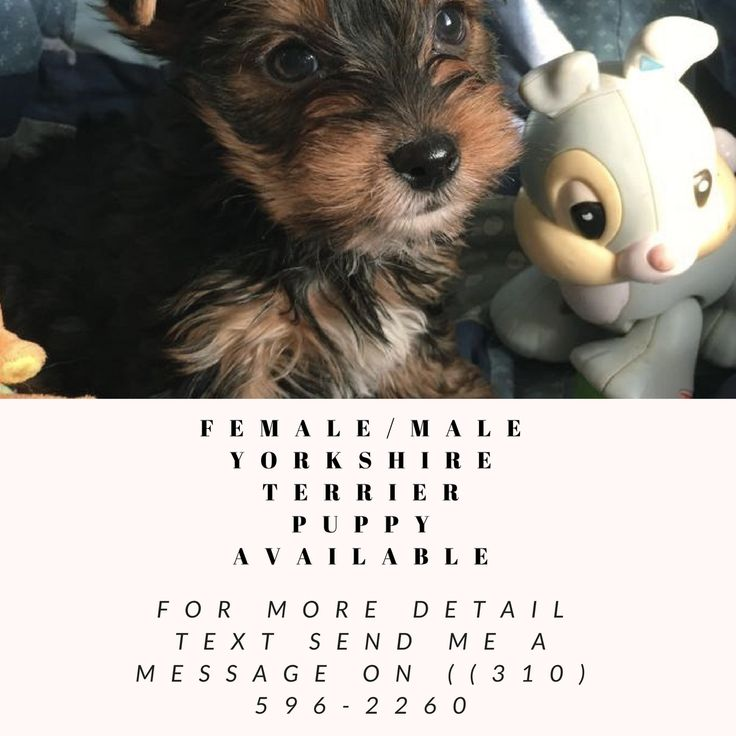 Female/Male Yorkshire Terrier puppy available. CKC registered. He is being raised in our home and loved and is super friendly and very healthy pup. Ready to go to new home contact ((310) 596-2260 for more details and price with pics.