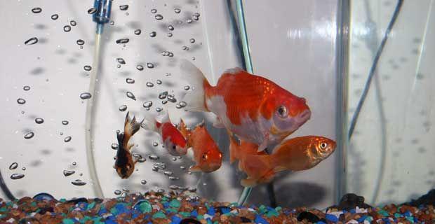 6 Feng Shui Rules for Fish Tank.  #FengShui #tulipaxanadu