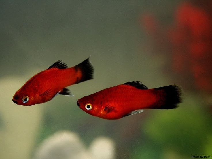 Platies Fish Care and Breeding | Exotic Tropical Ornamental Fish Photos With Names | Fish Secrets